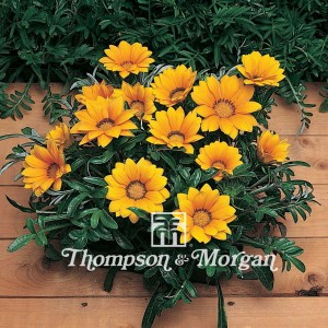 Graines de Gazania Kiss Gold F1