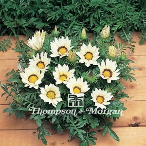Graines de Gazania Kiss White F1