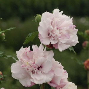 Hibiscus syriacus French Cabaret Pastel - Althéa blanc rose double