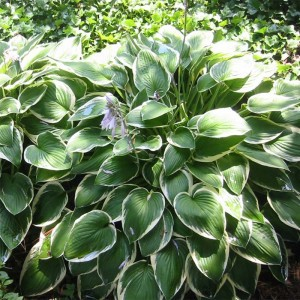 Hosta fortunei Francee
