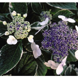 Hortensia - Hydrangea macrophylla Light'o'Day