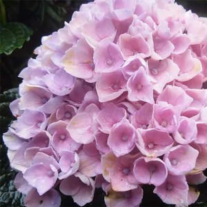 Hortensia - Hydrangea macrophylla Magical Revolution Rose