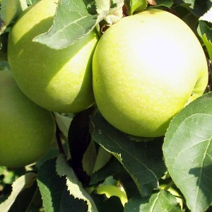 Pommier Golden Delicious - Palmette simple U