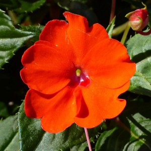 Impatiens Sunpatiens Compact Electric Orange