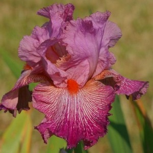 Iris germanica Anything Goes
