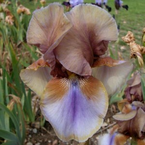 Iris germanica Burnt Toffee