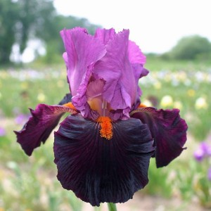 Iris germanica Fiery Temper