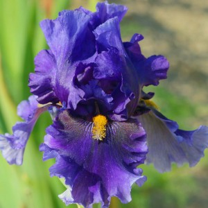 Iris germanica Deep Dark Secret - Grand Iris des Jardins