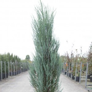 Genévrier de Virginie - Juniperus scopulorum Blue Arrow