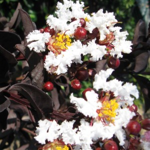 Lagerstroemia indica Black Solitaire Pure White - Lilas des Indes