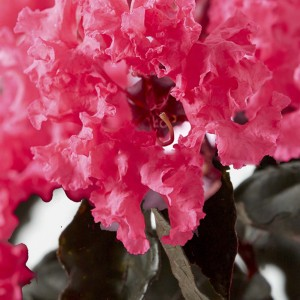 Lagerstroemia indica Black Solitaire Shell Pink - Lilas des Indes