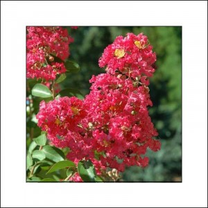 Lagerstroemia indica Rubra - Lilas des Indes