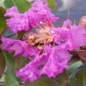 Lagerstroemia indica Summer Beauty Centennial - Lilas des Indes