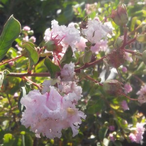 Lagerstroemia indica Summer Beauty Hope - Lilas des Indes