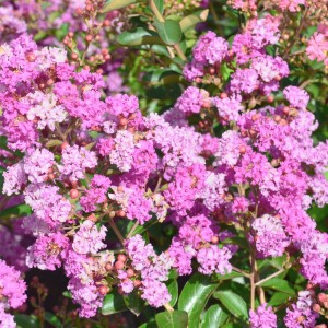 Lagerstroemia indica Summer Beauty Ozark Spring - Lilas des Indes