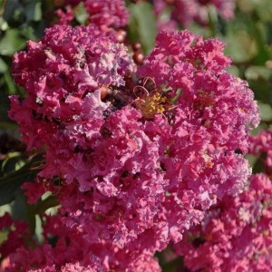 Lagerstroemia indica Summer Beauty Velma's Royal Delight - Lilas des Indes
