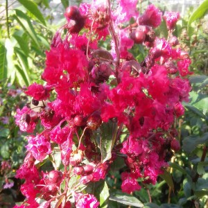 Lagerstroemia indica Summer Beauty Victor - Lilas des Indes