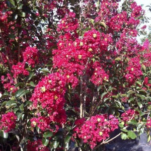 Lagerstroemia indica Summer Charm Arapaho - Lilas des Indes