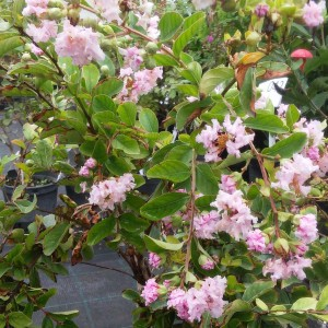 Lagerstroemia indica Summer Charm Hopi - Lilas des Indes