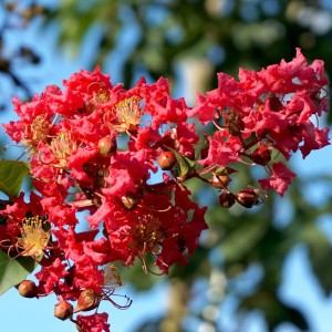 Lagerstroemia indica Summer Charm Tuscarora - Lilas des Indes
