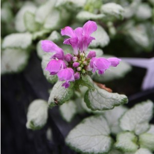 Lamium maculatum Red Nancy - Lamier pourpre