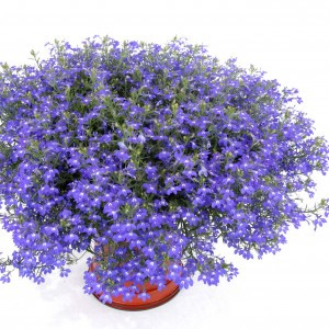 Lobelia Hot Blue