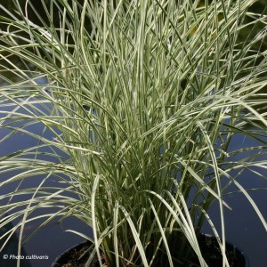 Miscanthus sinensis Morning Bright - Roseau de Chine