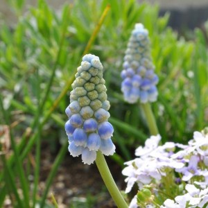 Muscari Aucherii Ocean Magic 7+