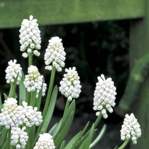 Muscari aucherii White Magic 9+