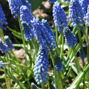 Muscari Aucherii Early Magic 7+