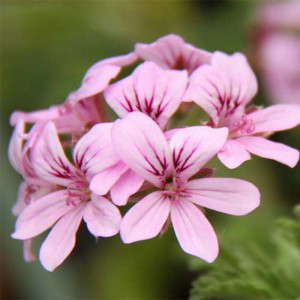 Pelargonium - Géranium parfumé Grey Lady Plymouth