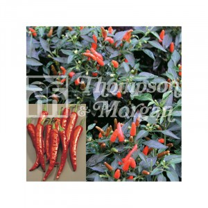 Piment Demon Red - Capsicum annuum