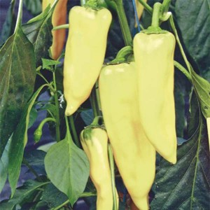 Piment Hungarian Yellow Wax Hot - Piment fort jaune