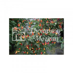 Piment Numex Twilight - Capsicum annuum