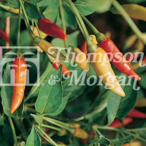 Piment Tabasco - Capsicum annuum
