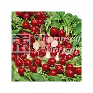 Radis Cherry Belle - Raphanus sativus