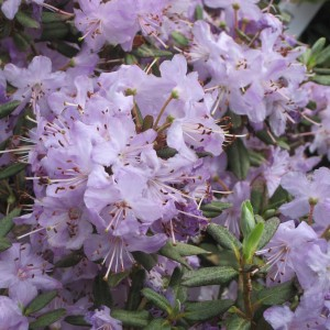 Rhododendron Blue Silver - Rhododendron nain