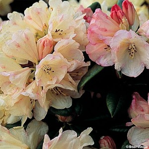Rhododendron Dusty Miller - Rhododendron nain