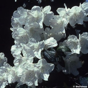 RHODODENDRON lindleyi - Rhododendron nain