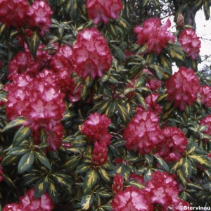 Rhododendron Président Roosevelt - Rhododendron hybride