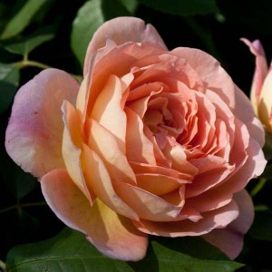 Rosier Anglais Lady Of Shalott