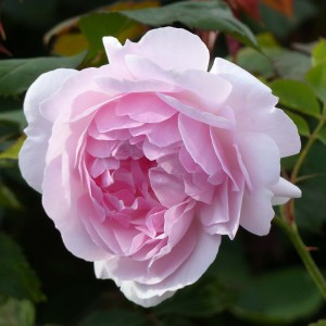 Rosier David Austin Lady Salisburry® - Auscezed