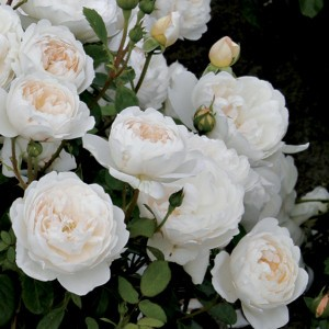 Glamis castle rosier en pot