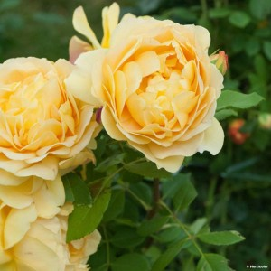 Rosier David Austin Golden Celebration® - Ausgold