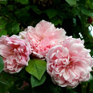 Rosier Grimpant Albertine - Rose ancienne