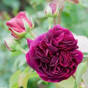 Rosier David Austin Munstead Wood® - Ausbernard