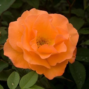 Rosier Grimpant Orange Climber