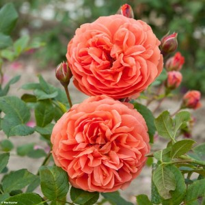 Rosier David Austin Summer Song ® - Austango