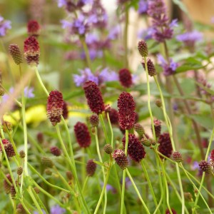 Sanguisorba Red Thunder - Pimprenelle