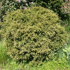 Taxus Baccata, If